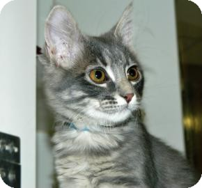 Domestic Shorthair Kitten for adoption in Cheyenne, Wyoming - Apocalypse
