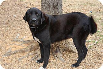 Adopted Dog | 1578 | Muldrow, OK | Newfoundland/Labrador Retriever Mix