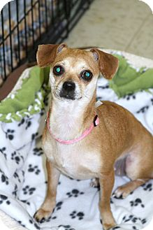 Chihuahua/Pug Mix Dog for adoption in Muskegon, Michigan - Noel