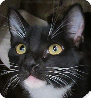 Domestic Shorthair Kitten for adoption in Winchester, California - Pinta