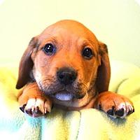 Adopt A Pet :: *Dalton - PENDING - Westport, CT