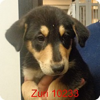 Adopt A Pet :: Zuri - baltimore, MD