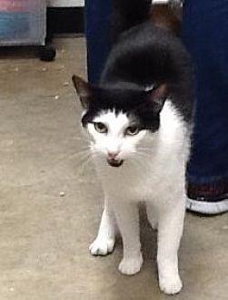 Domestic Shorthair Cat for adoption in Houston, Texas - Sammy