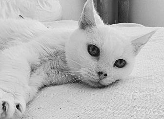 Domestic Shorthair Cat for adoption in Tucson, Arizona - Haven