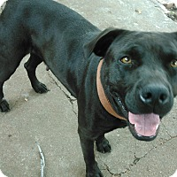 Pit Bull Terrier/Labrador Retriever Mix Dog for adoption in Clinton, Oklahoma - Sweet Pea