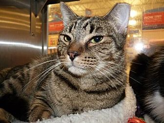 Domestic Shorthair Cat for adoption in Capshaw, Alabama - T.S. Elliott
