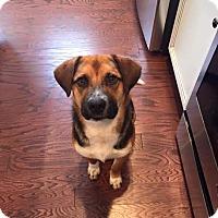Adopt A Pet :: Harley - Manhasset, NY
