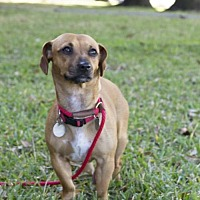 Dachshund Mix Dog for adoption in Houston, Texas - Eve