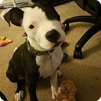 Adopt A Pet :: Burger - Newtown, CT