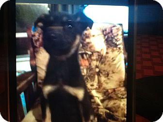 German Shepherd Dog/Terrier (Unknown Type, Small) Mix Puppy for adoption in springtown, Texas - April