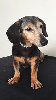 Dachshund Dog for adoption in Weston, Florida - Belle