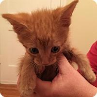 Domestic Shorthair Kitten for adoption in Baltimore, Maryland - Clementine (Sesame Street)