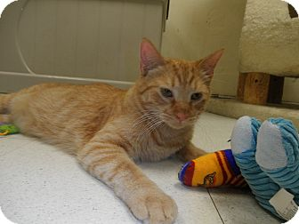Domestic Shorthair Cat for adoption in Milwaukee, Wisconsin - Hawkeye