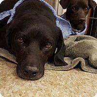 Adopt A Pet :: Henry - Las Vegas, NV