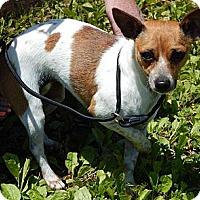 Adopt A Pet :: Tammy(9 lb) Sweetheart! - Niagara Falls, NY