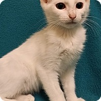 Domestic Shorthair Kitten for adoption in Cannelton, Indiana - Opal