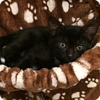 Adopt A Pet :: Hooked on Onyx and her Bombay Brood - Brooklyn, NY