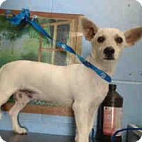 Corgi/Chihuahua Mix Dog for adoption in San Bernardino, California - URGENT ON 9/24  San Bernardino