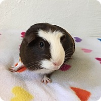 Guinea Pig for adoption in Grand Rapids, Michigan - Beatrice