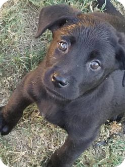Labrador Retriever Mix Puppy for adoption in CUMMING, Georgia - Pippa