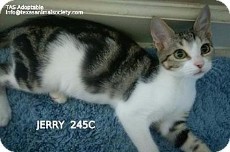 Domestic Shorthair Kitten for adoption in Spring, Texas - Jerry