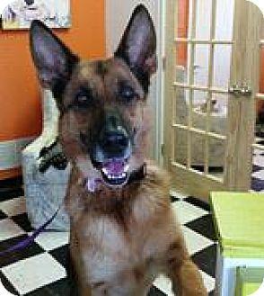 German Shepherd Dog Dog for adoption in Kansas City, Missouri - Sophie