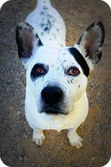 Australian Cattle Dog/Corgi Mix Dog for adoption in Casa Grande, Arizona - Hooper
