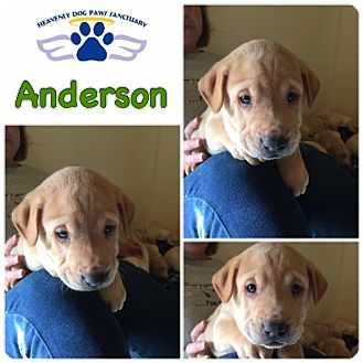 Catahoula Leopard Dog/Labrador Retriever Mix Puppy for adoption in Folsom, Louisiana - Anderson