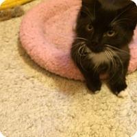 Domestic Shorthair Kitten for adoption in Overland Park, Kansas - Pippa