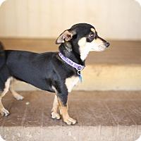 Adopt A Pet :: Foxy - Holliston, MA
