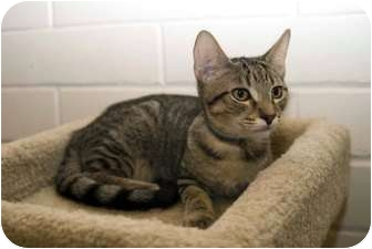 Domestic Shorthair Kitten for adoption in New Port Richey, Florida - Simba