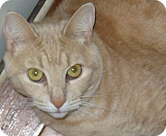 Domestic Shorthair Cat for adoption in Lawrenceville, Georgia - Otto