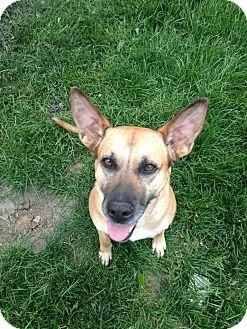 Shepherd (Unknown Type) Mix Dog for adoption in Laingsburg, Michigan - Carmen