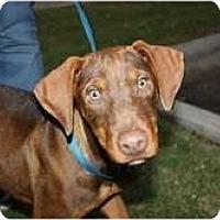 Adopt A Pet :: Chase - Arlington, TX