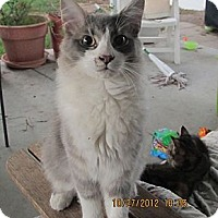 Adopt A Pet :: Adorable Fluffy - Laguna Woods, CA