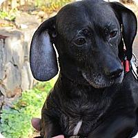 Adopt A Pet :: SADIE - Portland, OR