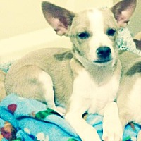 Terrier (Unknown Type, Medium)/Chihuahua Mix Puppy for adoption in Dallas, Texas - Jay-D