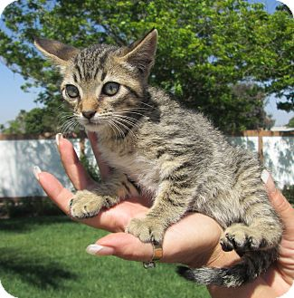 Domestic Shorthair Cat for adoption in San Bernardino, California - Stabler