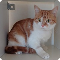 Domestic Shorthair Cat for adoption in Gatineau, Quebec - Stella