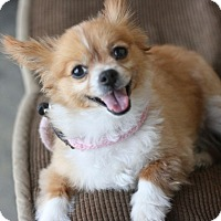 Adopt A Pet :: Fox - Canoga Park, CA