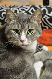 Domestic Shorthair Cat for adoption in Atlanta, Georgia - Paisley151002
