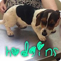 Adopt A Pet :: Hodgins - Garden City, MI