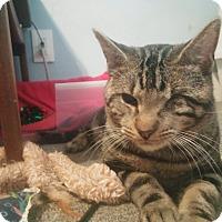 Adopt A Pet :: Masamune - St. Louis, MO