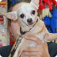 Adopt A Pet :: Pudgie - Brooklyn, NY