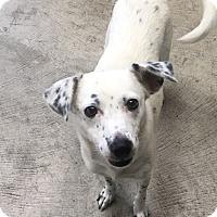 Adopt A Pet :: Star - Nashville, TN