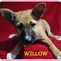 Adopt A Pet :: Willow - Batesville, AR