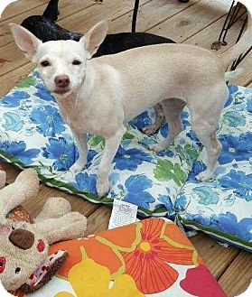 Miniature Pinscher/Chihuahua Mix Dog for adoption in Richmond, Kentucky - Bella