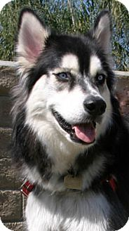 Alaskan Malamute/Siberian Husky Mix Dog for adoption in Ventura, California - Bella