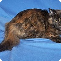 Domestic Mediumhair Cat for adoption in Colorado Springs, Colorado - Anastasia