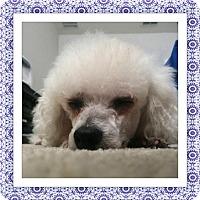 Bichon Frise Dog for adoption in Tulsa, Oklahoma - Adopted!!Biskit - FL